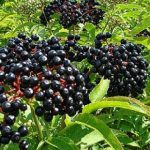Elderberry Berries